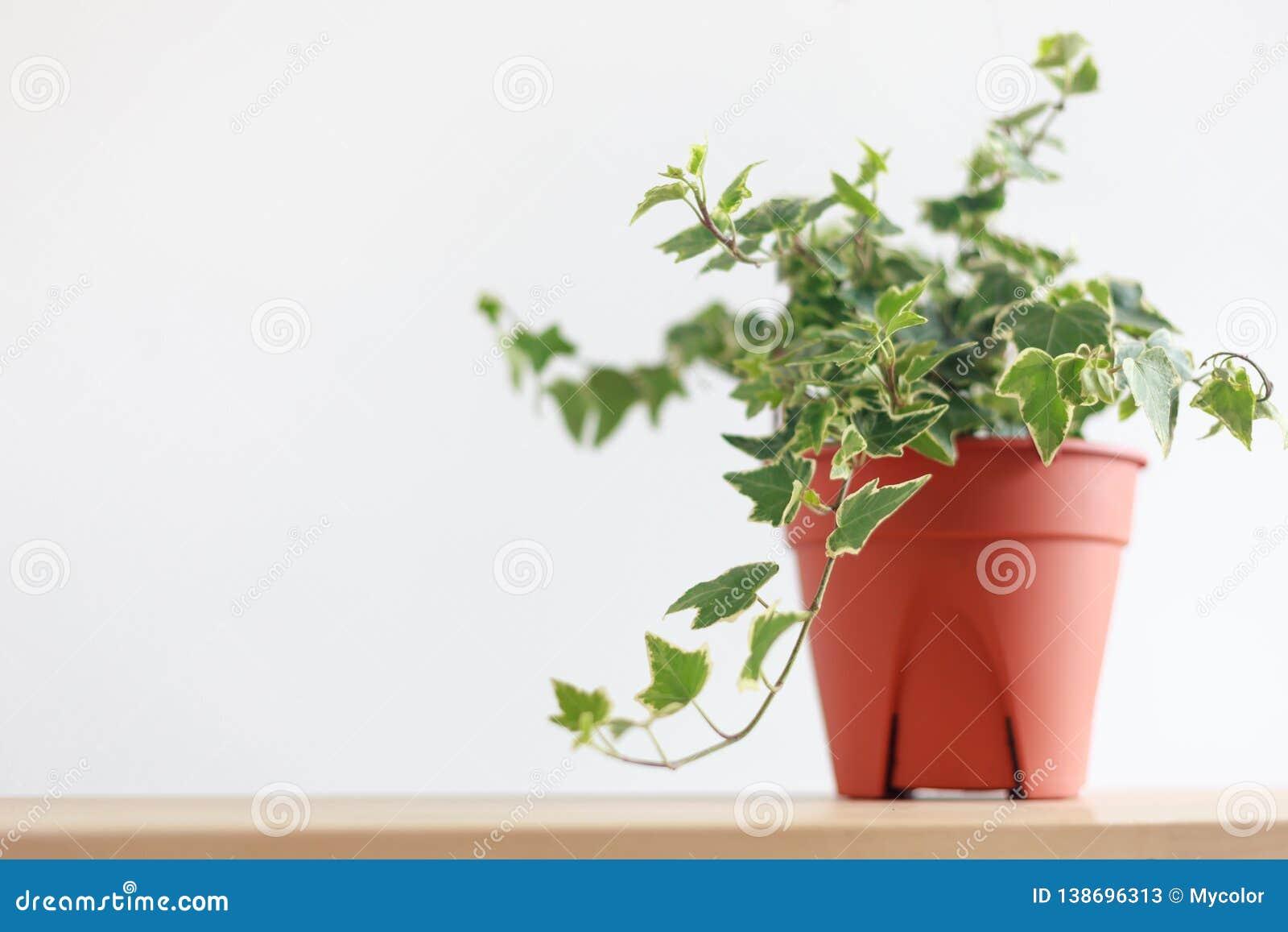 English Ivy Plant In Pot On Wood Table Stock Image - Image ... on ivy houseplant, yucca elephantipes house plant, ivy water plant, ivy ice plant, ivy flower, ivy indoor plant,