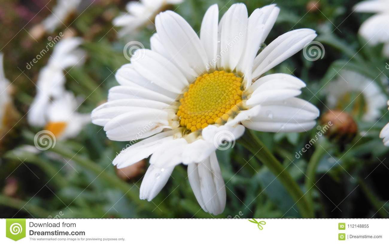 Englishlawn Daisy Stock Image Image Of Forrest Closeup 112148855