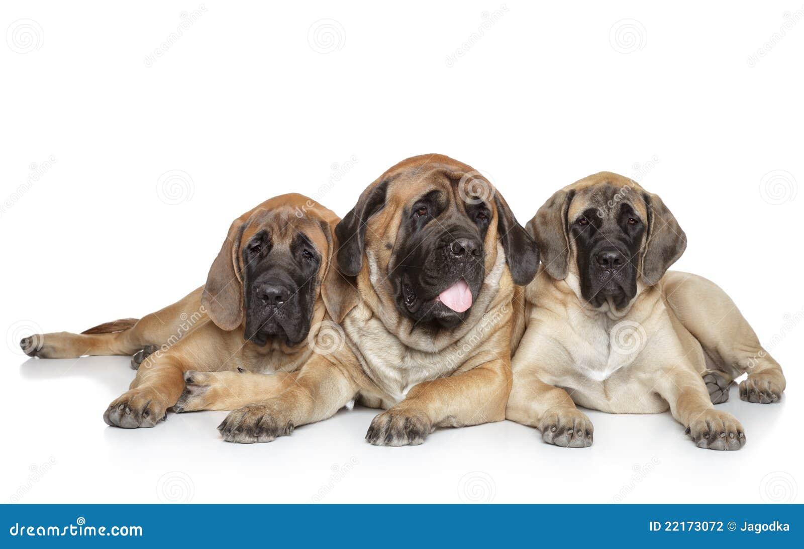 English Mastiff dogs on white background