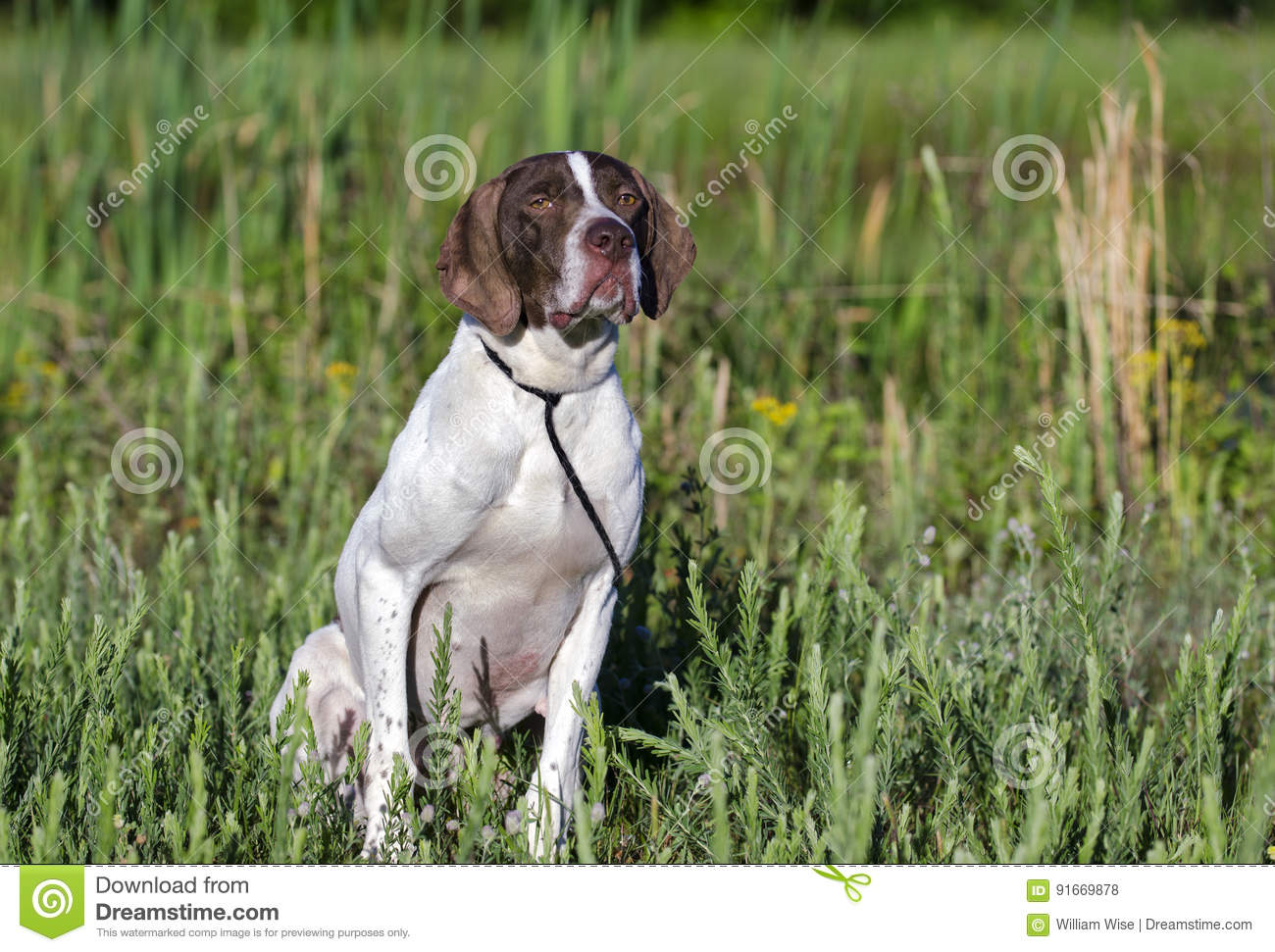 Download English Pointer bird dog stock photo. Image of collie - 91669878
