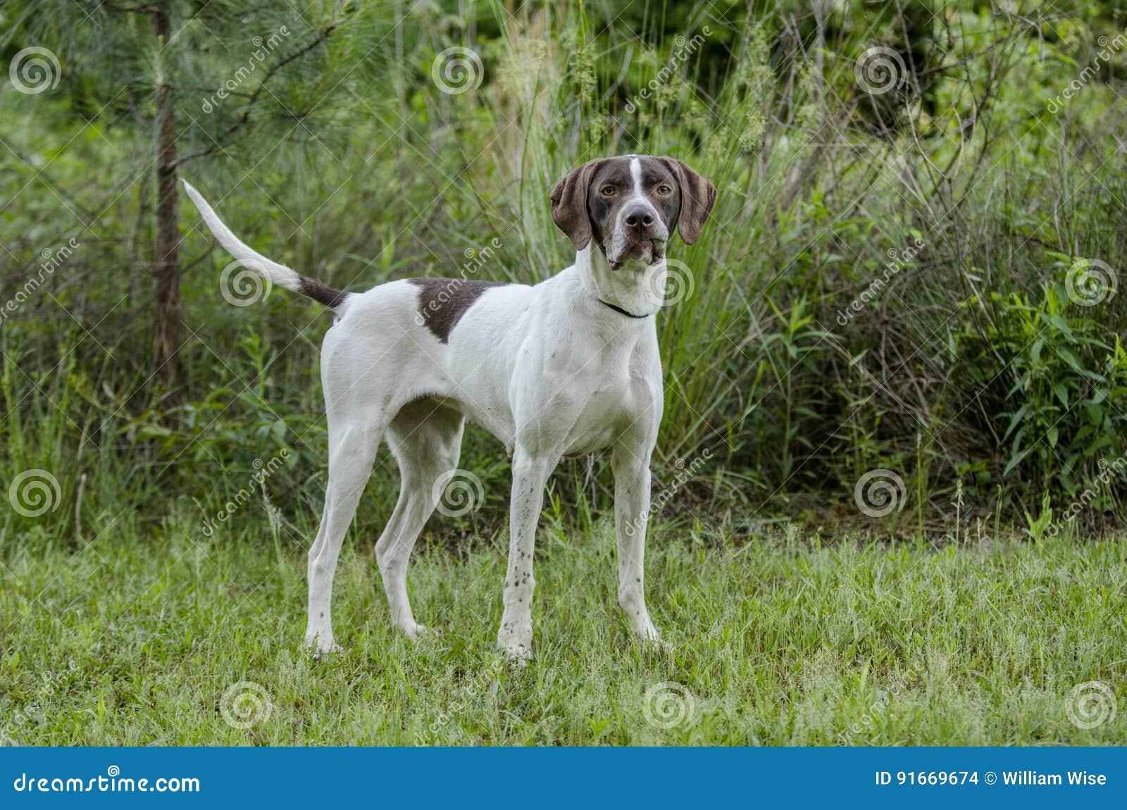 Download English Pointer bird dog stock photo. Image of cropped - 91669674