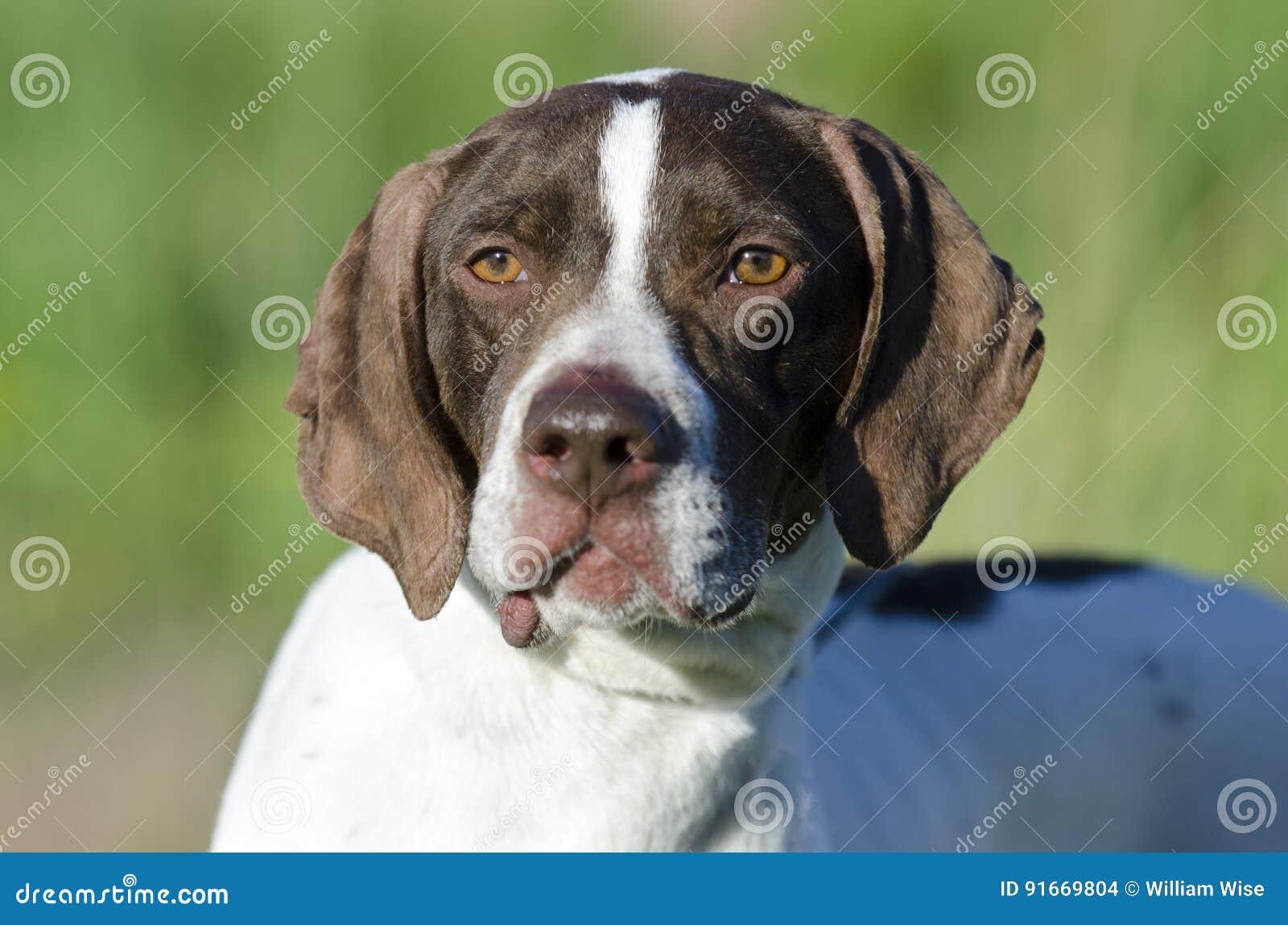 Download English Pointer bird dog stock photo. Image of collie - 91669804