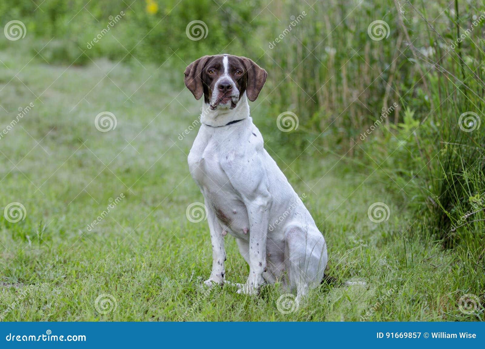 English Pointer bird dog