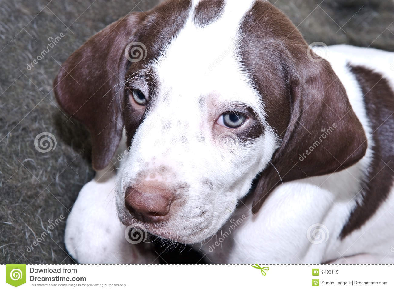 cute little English Pointer puppy with blue eyes English Pointer Lab Mix Puppy