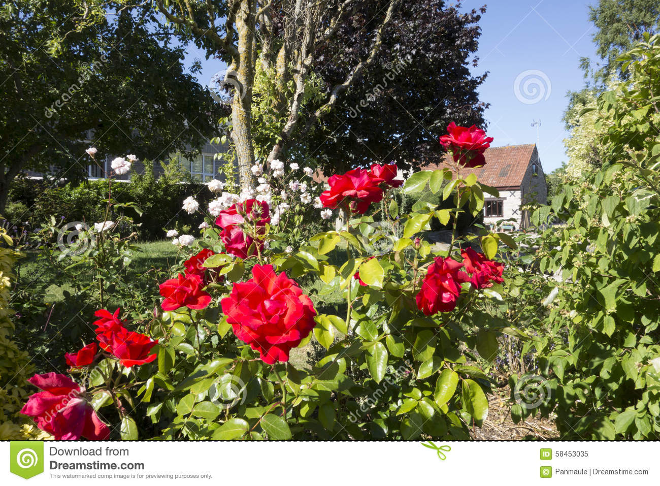 English Rose Garden Stock Image Of Color Britain