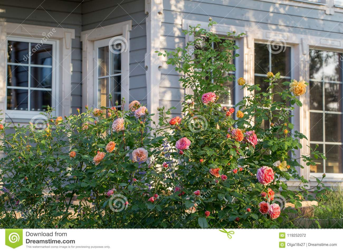 Download Roses And Herb Garden Outside A Country House Stock Photo   Image  Of English,