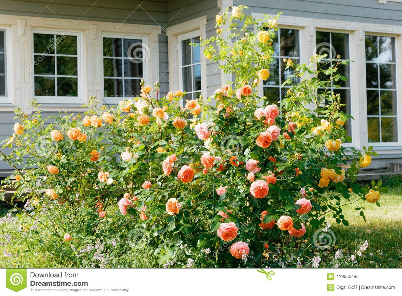 English Roses Garden Pink Yellow And Orange Colors Outside A Country Wooden Scandinavian House Latvia