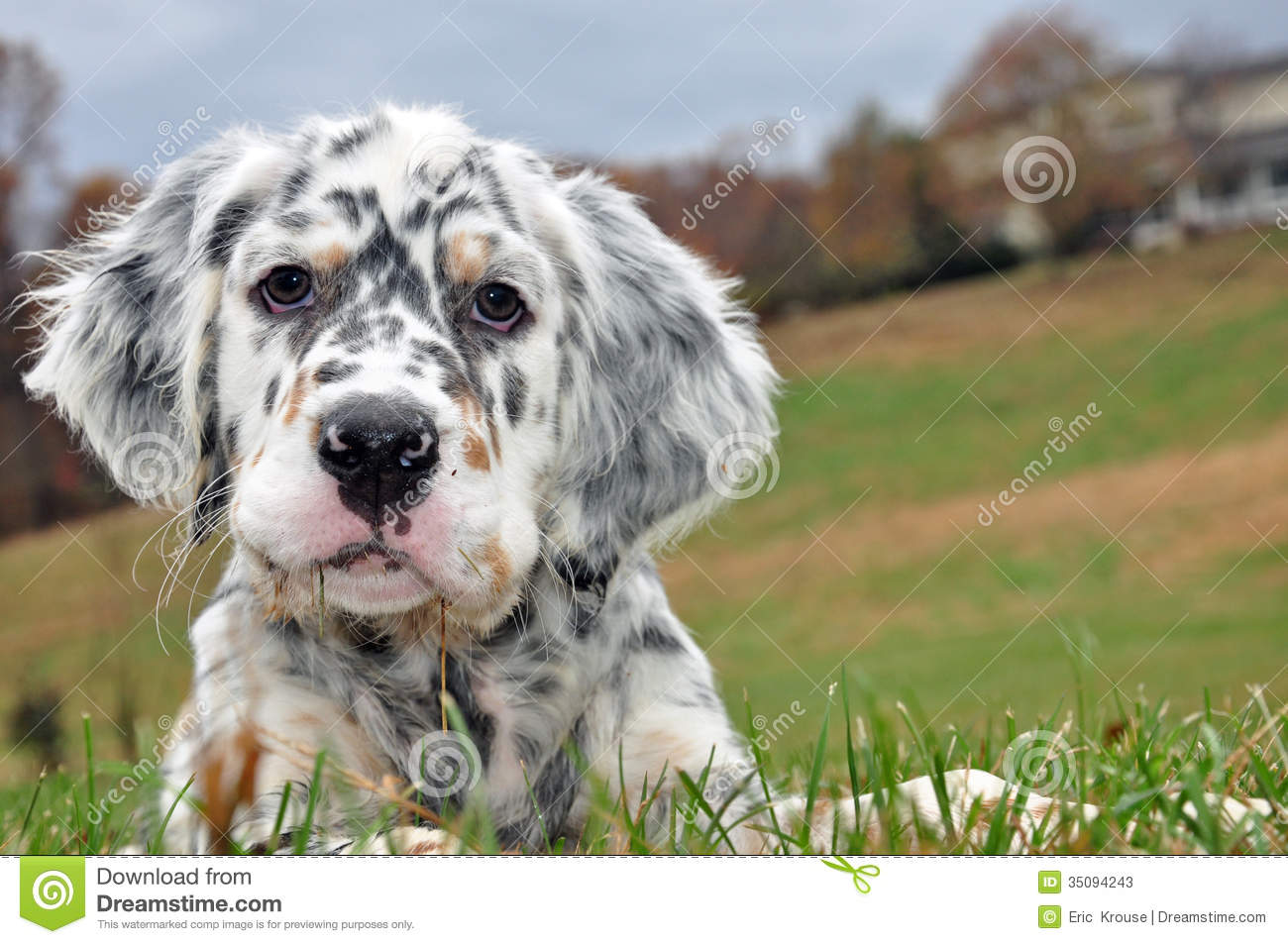 English Setter breeder in the mountains of North Carolina.