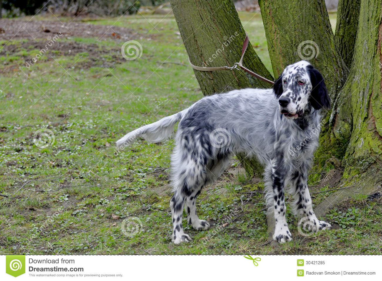 English Setter Royalty...