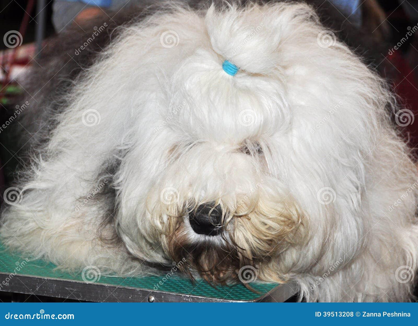 English Sheepdog