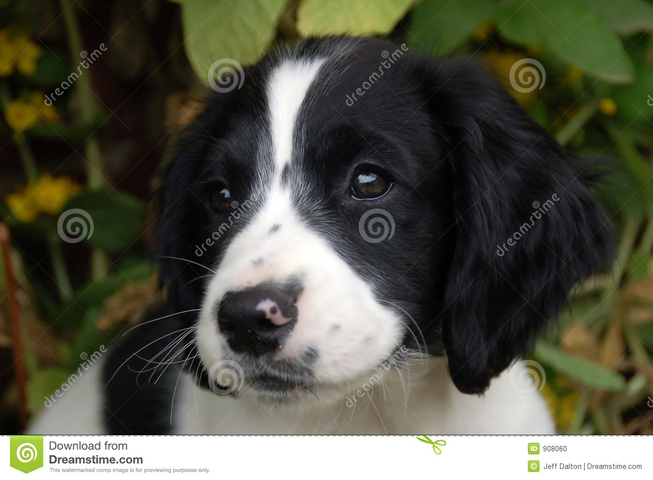 English Springer Spaniel Puppy Stock Photo Image Of Cute Pooch 908060