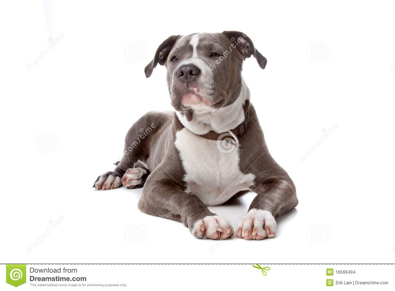 Staffordshire bull terrier puppy on white stock image for English terrier