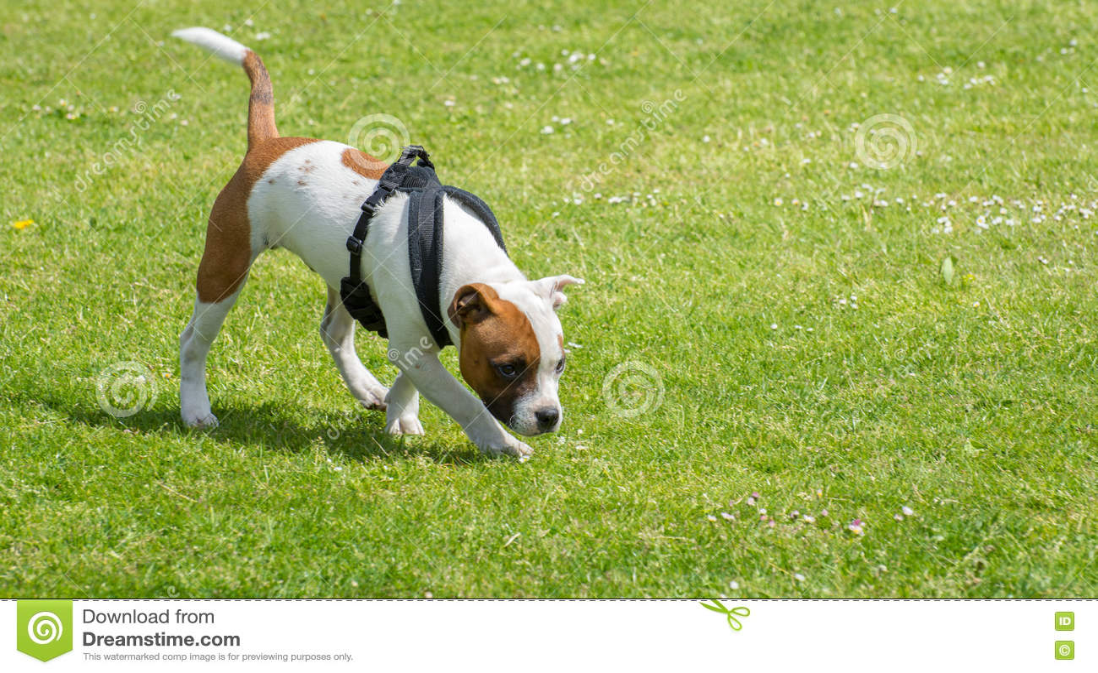 English staffordshire bull terrier puppy.