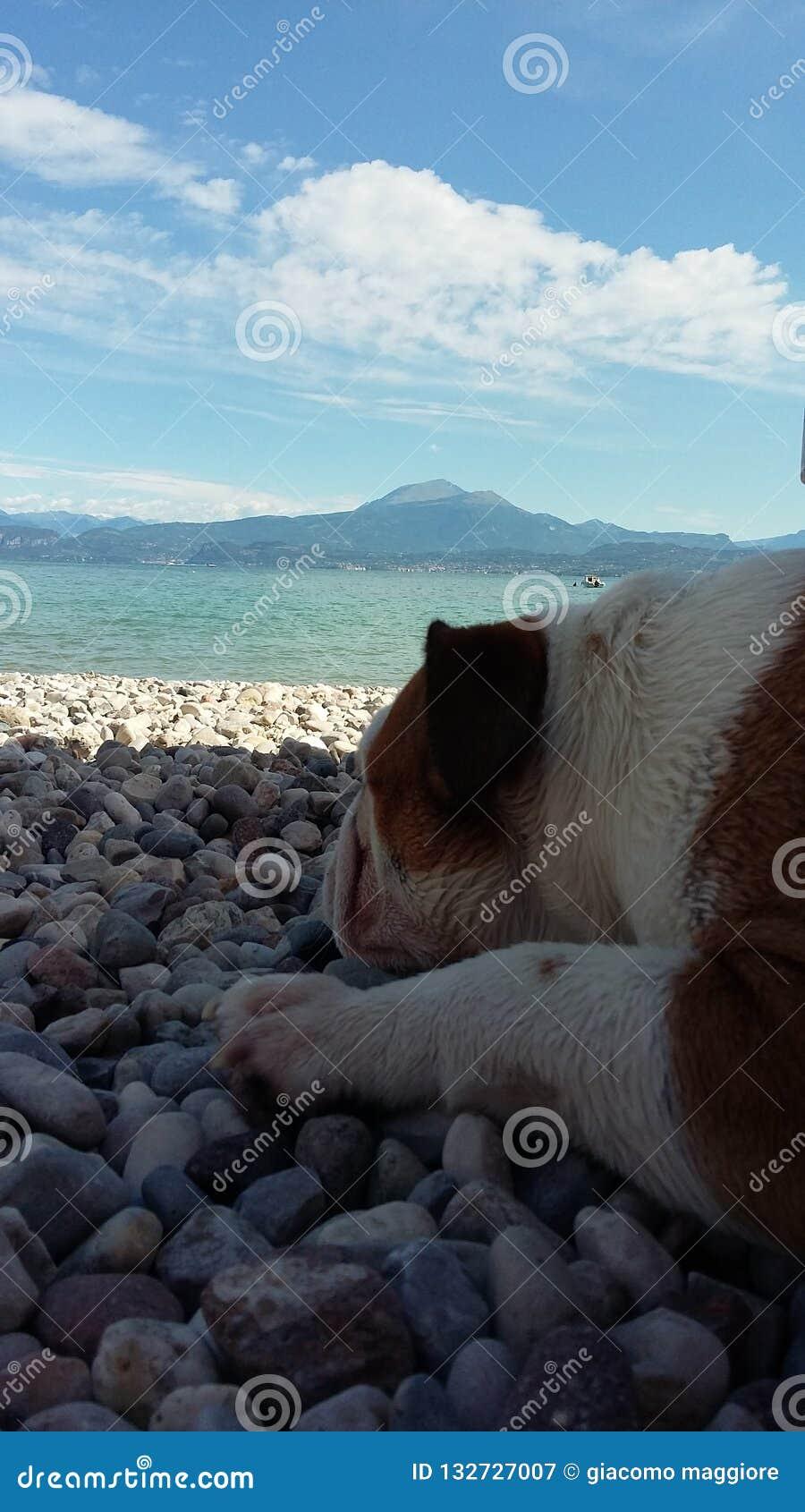 Englishbulldog del lago Garda