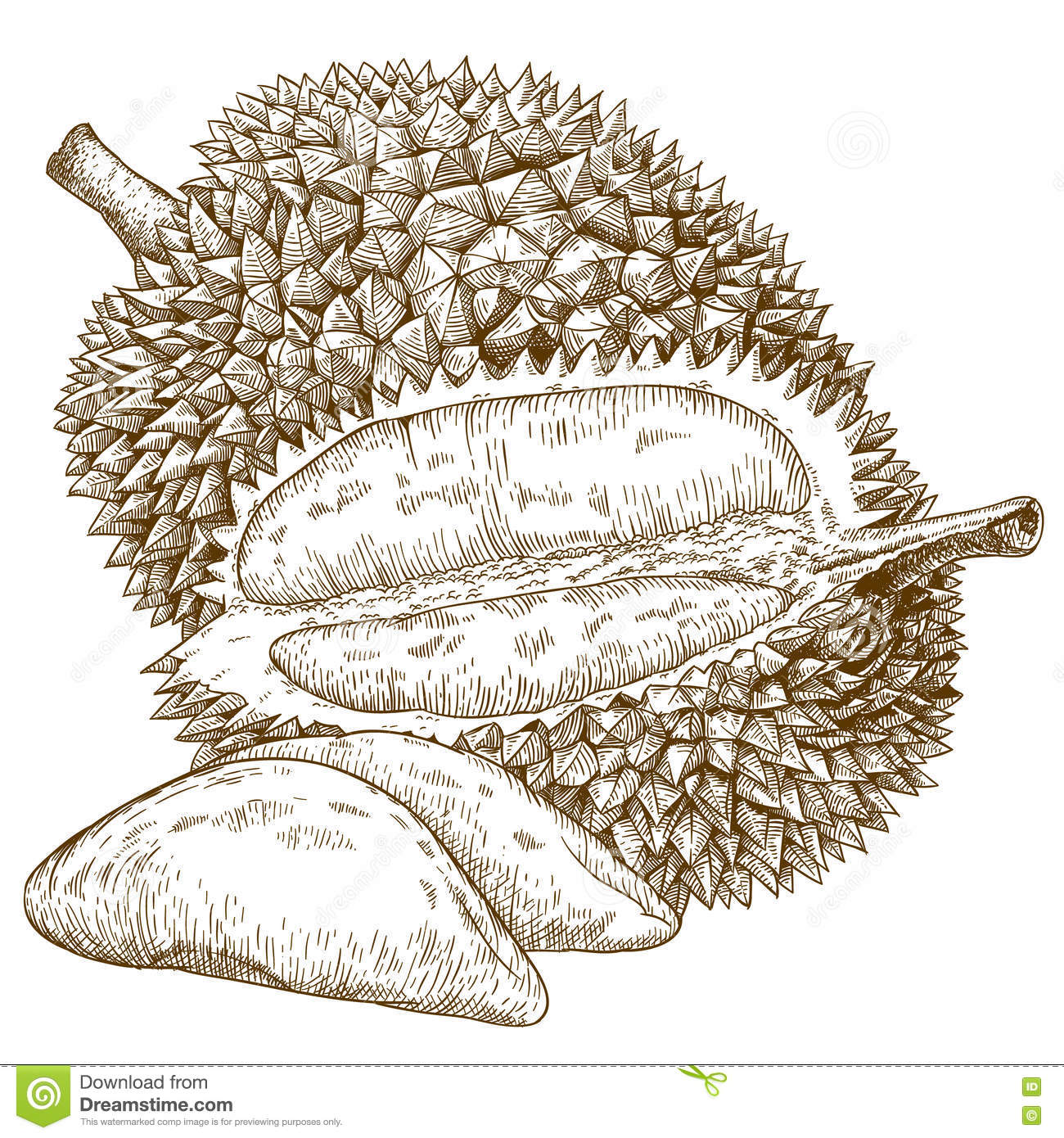 Engraving antique illustration of durian fruit