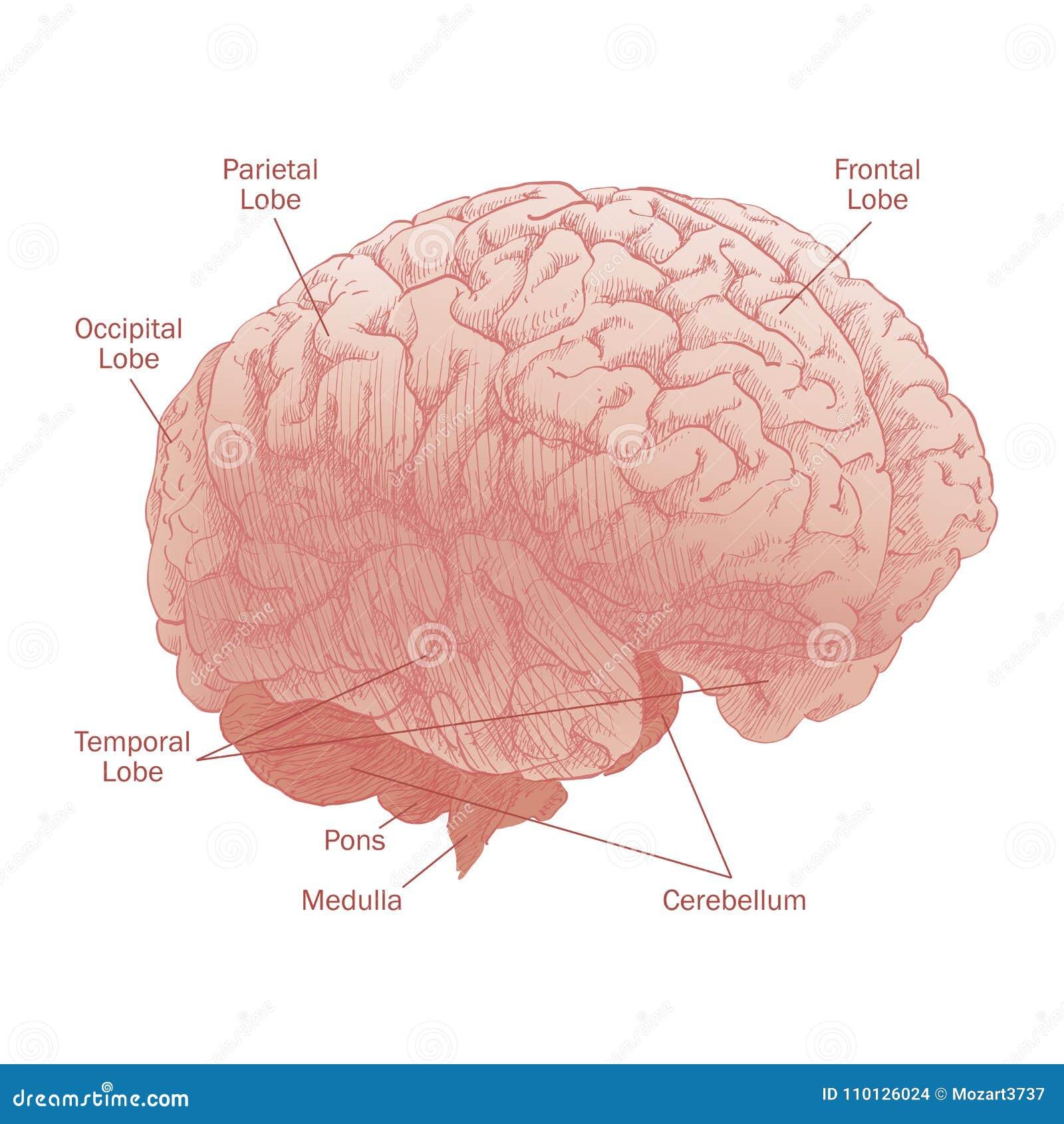 Human brain head anatomy stock vector. Illustration of engraved ...