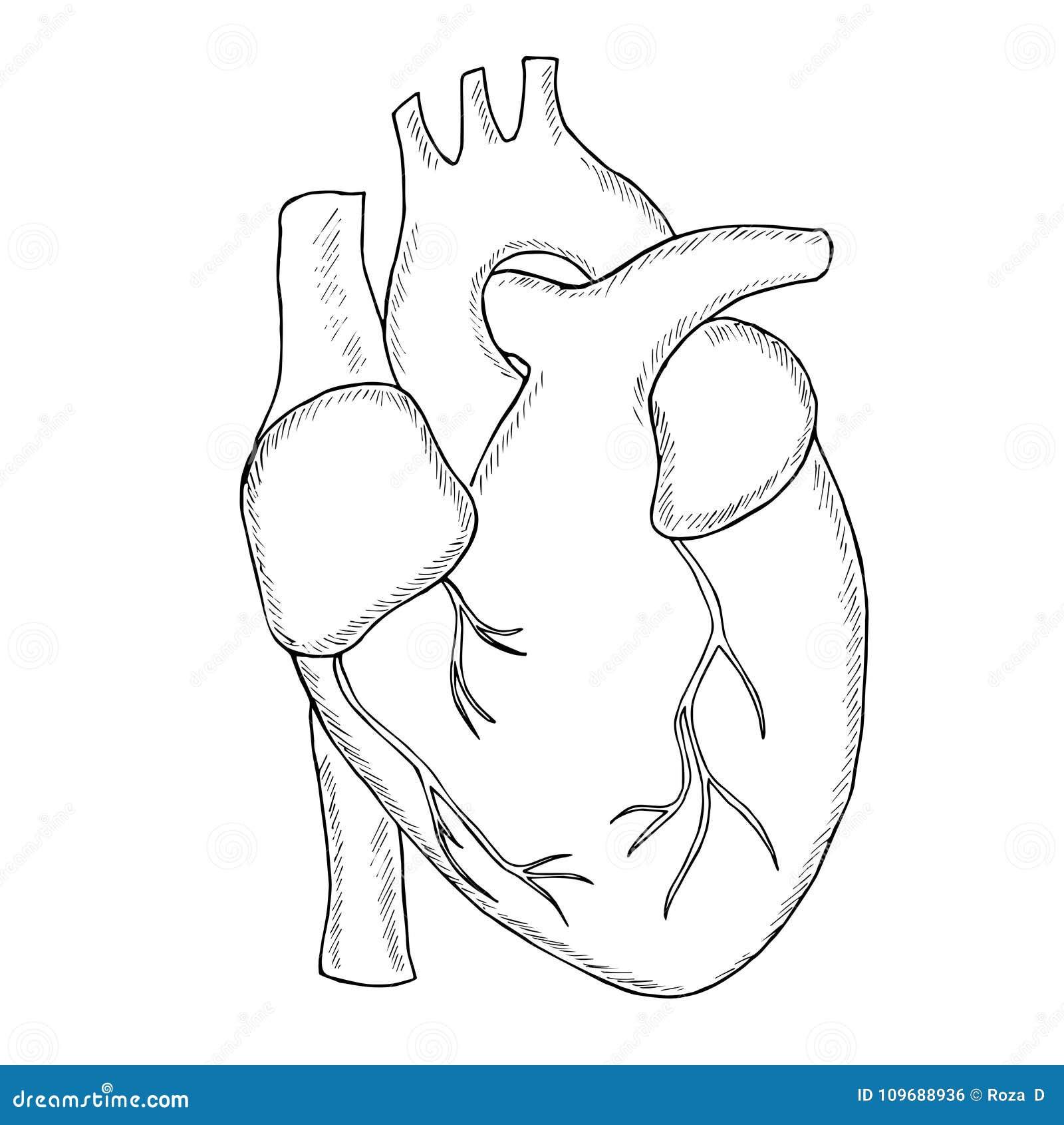 Human heart sketch liner stock vector. Illustration of ...