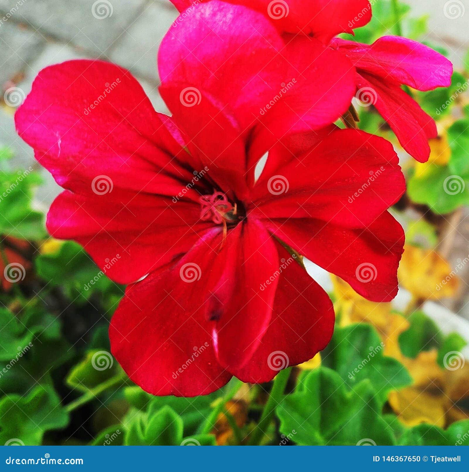 Enige Heldere Rode Geraniumbloem
