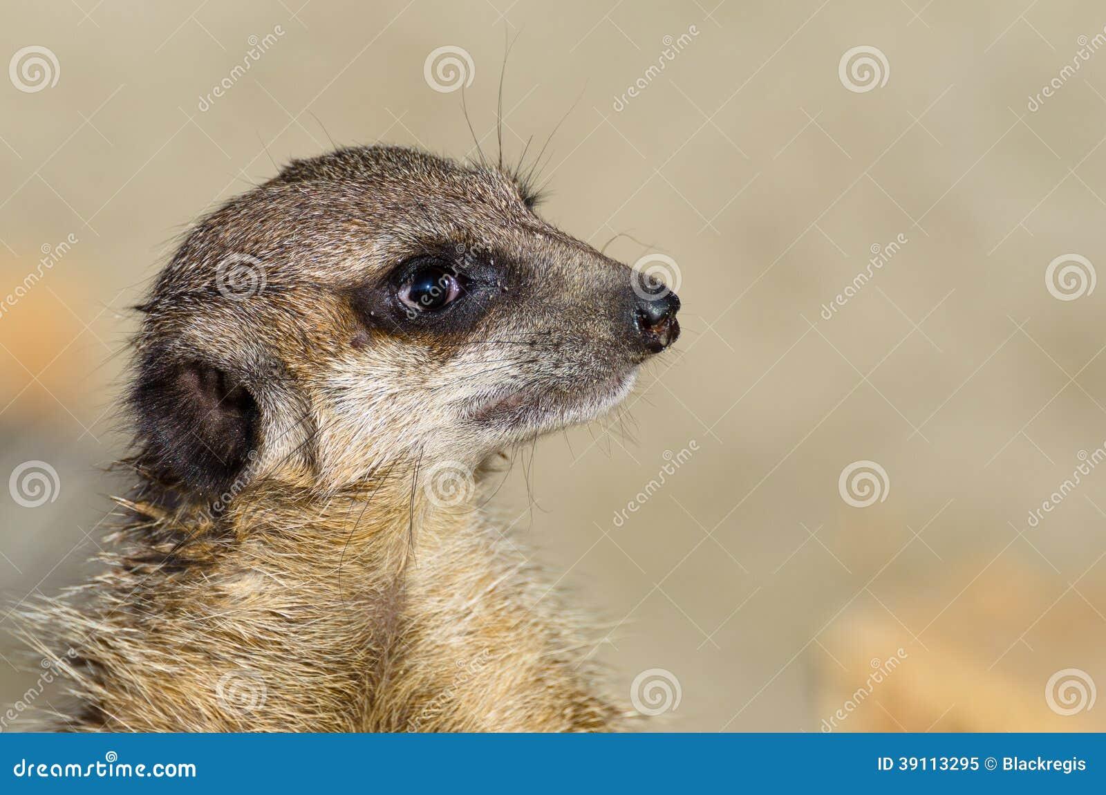Enige leuk uitziende meerkat