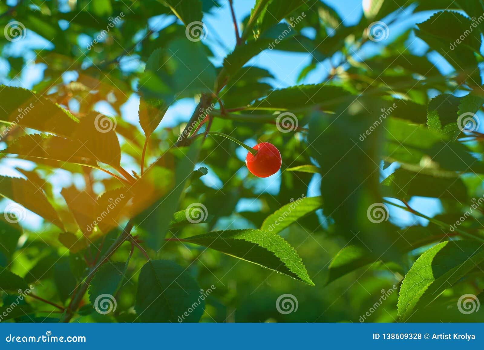 Enkel mogen körsbärsröd frukt som hänger på filial