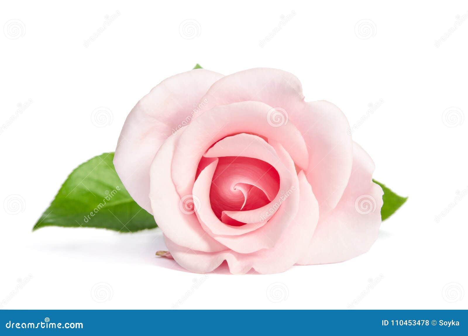 Enkel rosa färgros för skönhet