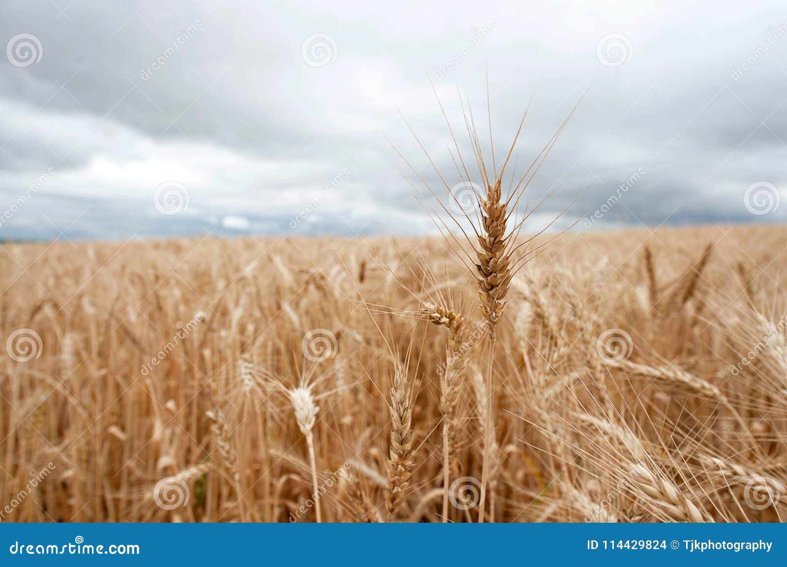 Enkel stjälk av vete som klibbar ut ur en wheatfield