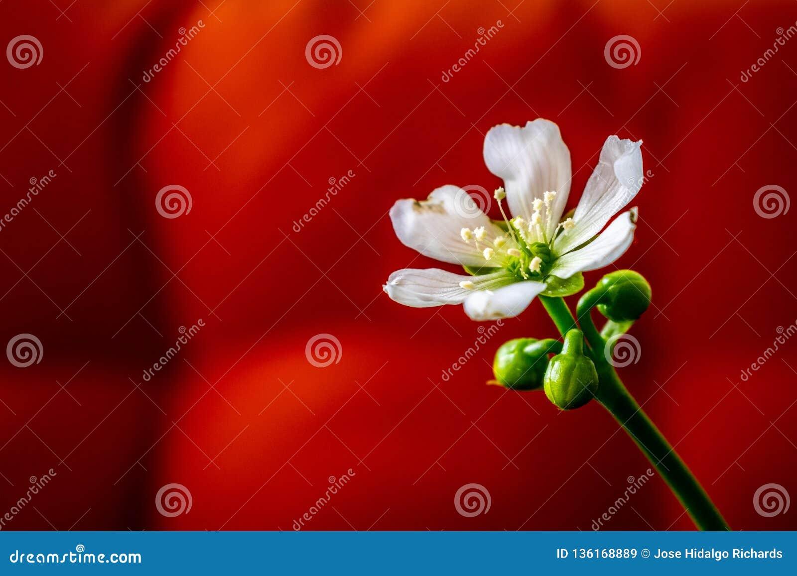 Enkel vit blomma mot en röd bakgrund