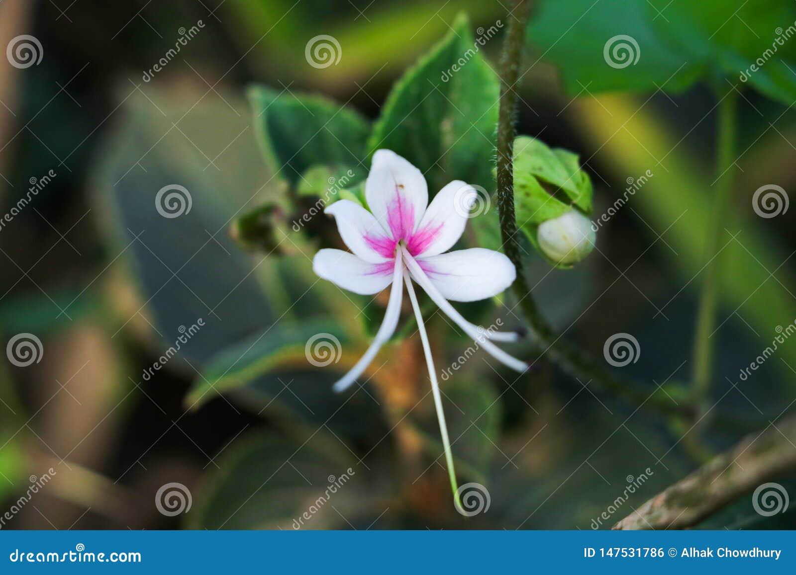 Enkel vit blomma på mer blå grön bakgrundsfärg som är vit och, och annan