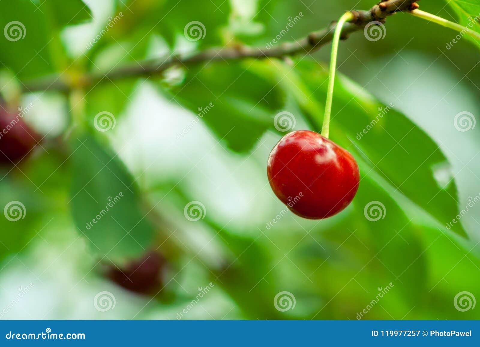 Enkelt körsbärsrött hänga på en filial