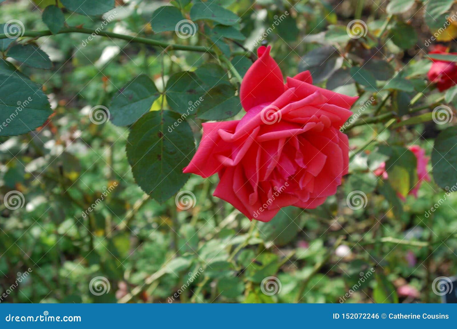 Enkelt skott av en mörk rosa ros