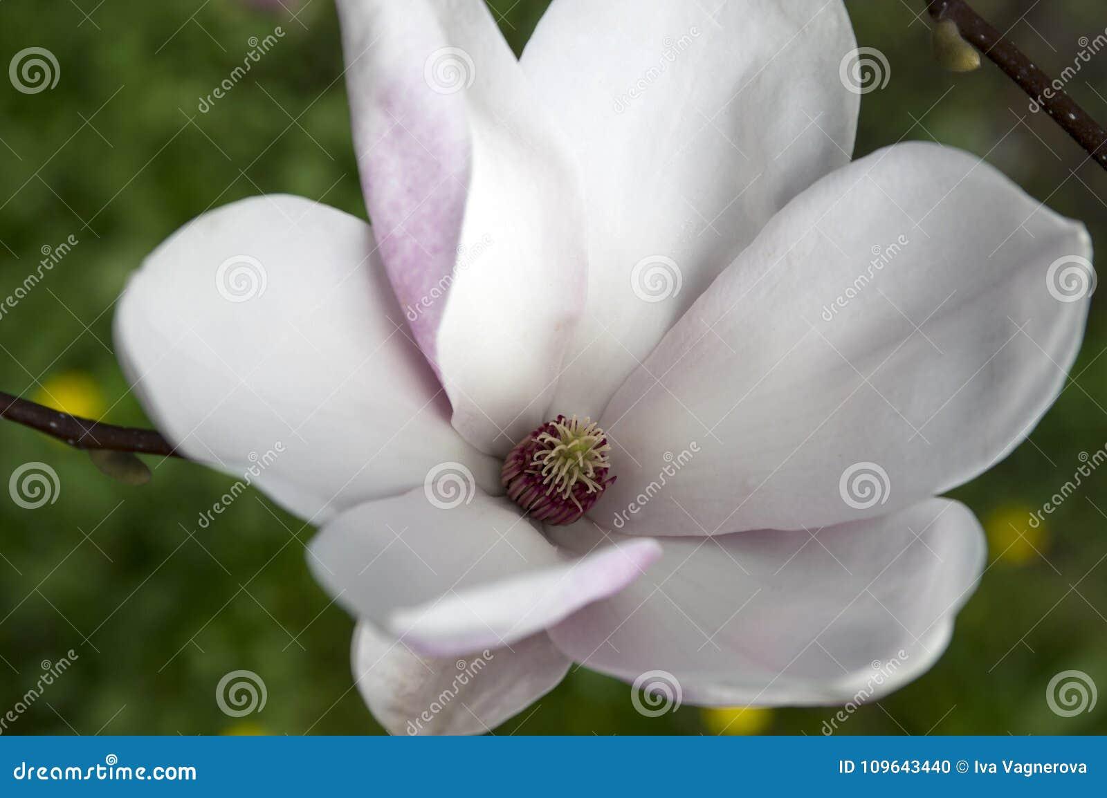 Enkelt träd för blommamagnoliasoulangeana i blom