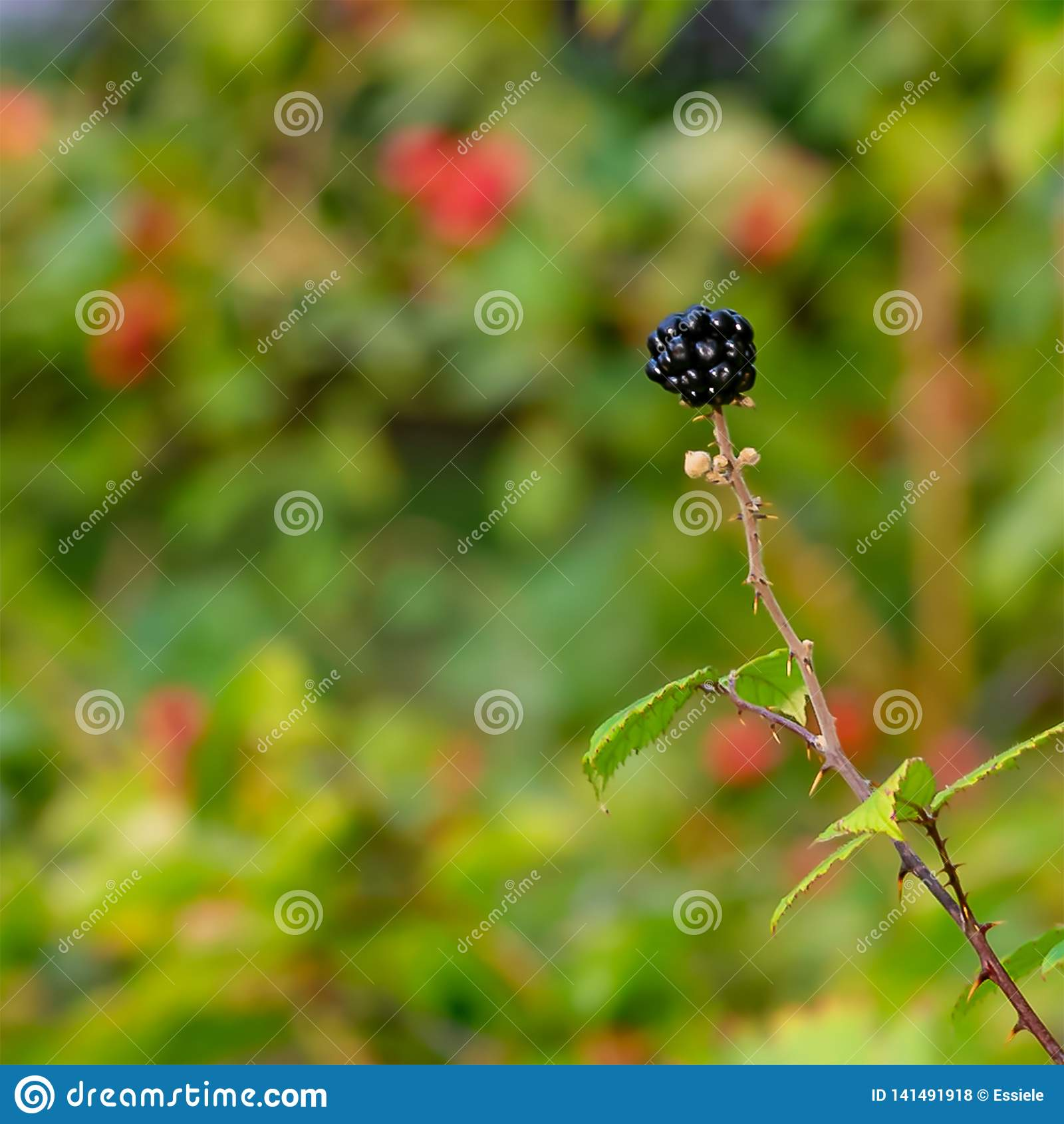 Enkla Blackberry i min Front Garden