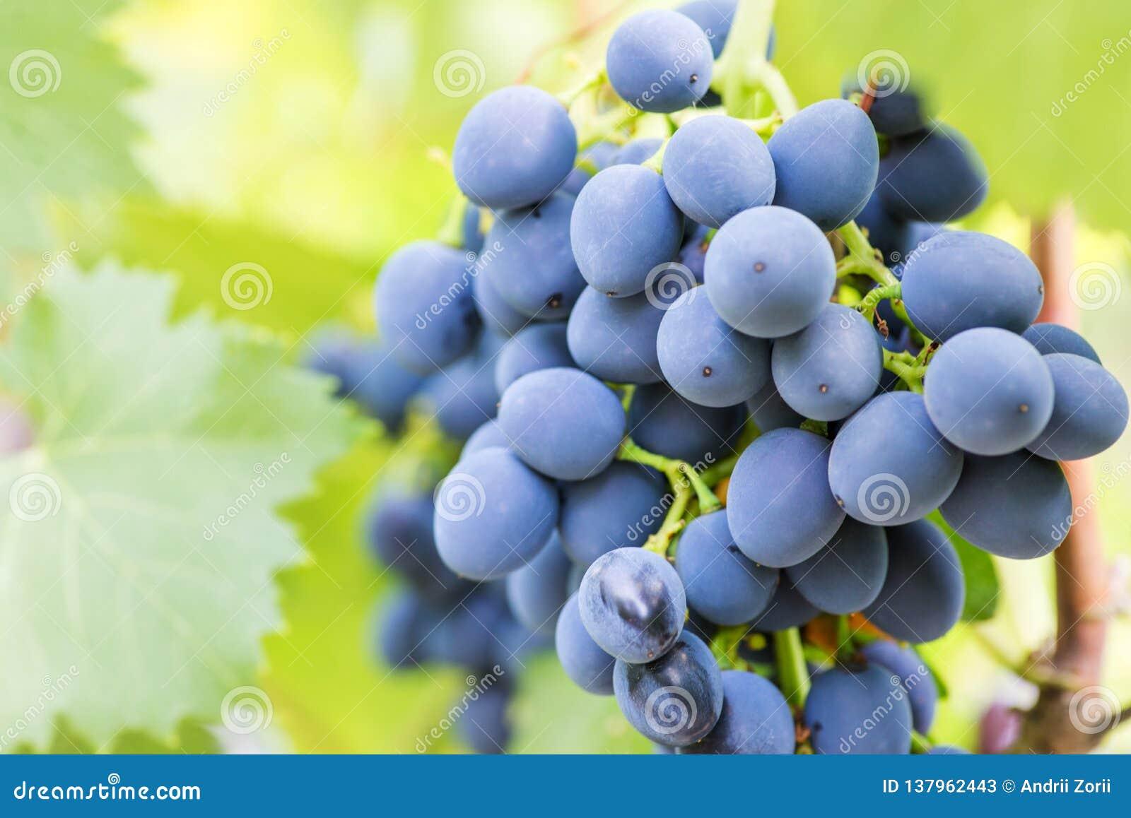 Enkla gruppdruvor på vinranka Närbild av grupper av mogna vindruvor på vinranka blå druvavingård