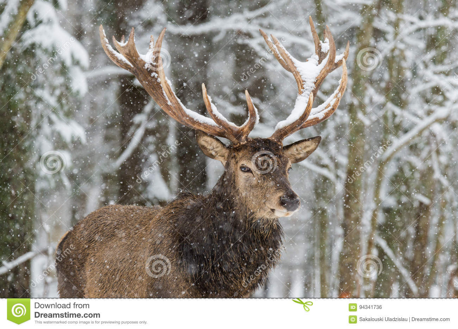 Enkla vuxna nobla hjortar med stora härliga horn på snöig fält på skogbakgrund Europeiskt djurlivlandskap med snö och de