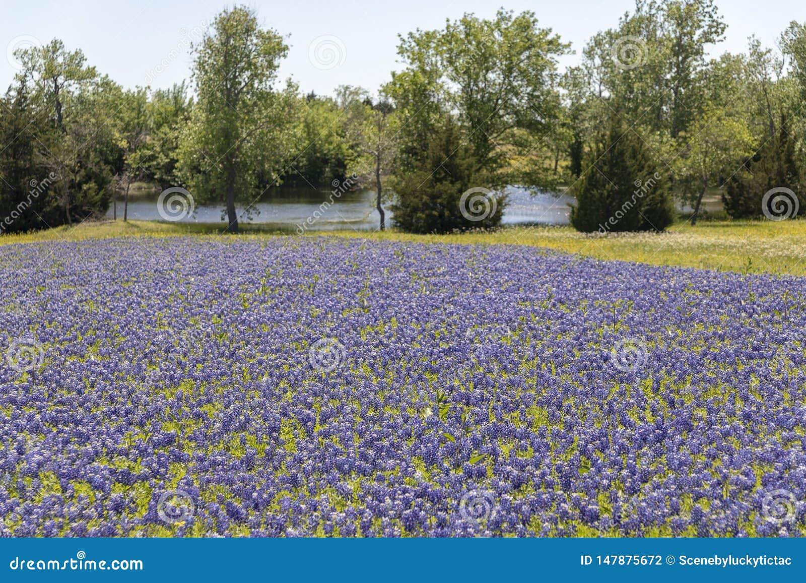 Ennis Texas Bluebonnet Field On Farm Stock Photo Image Of Summer
