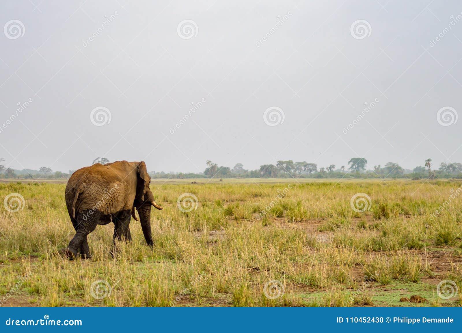 Enorm elefant på slingan i savannahen av Amboseli