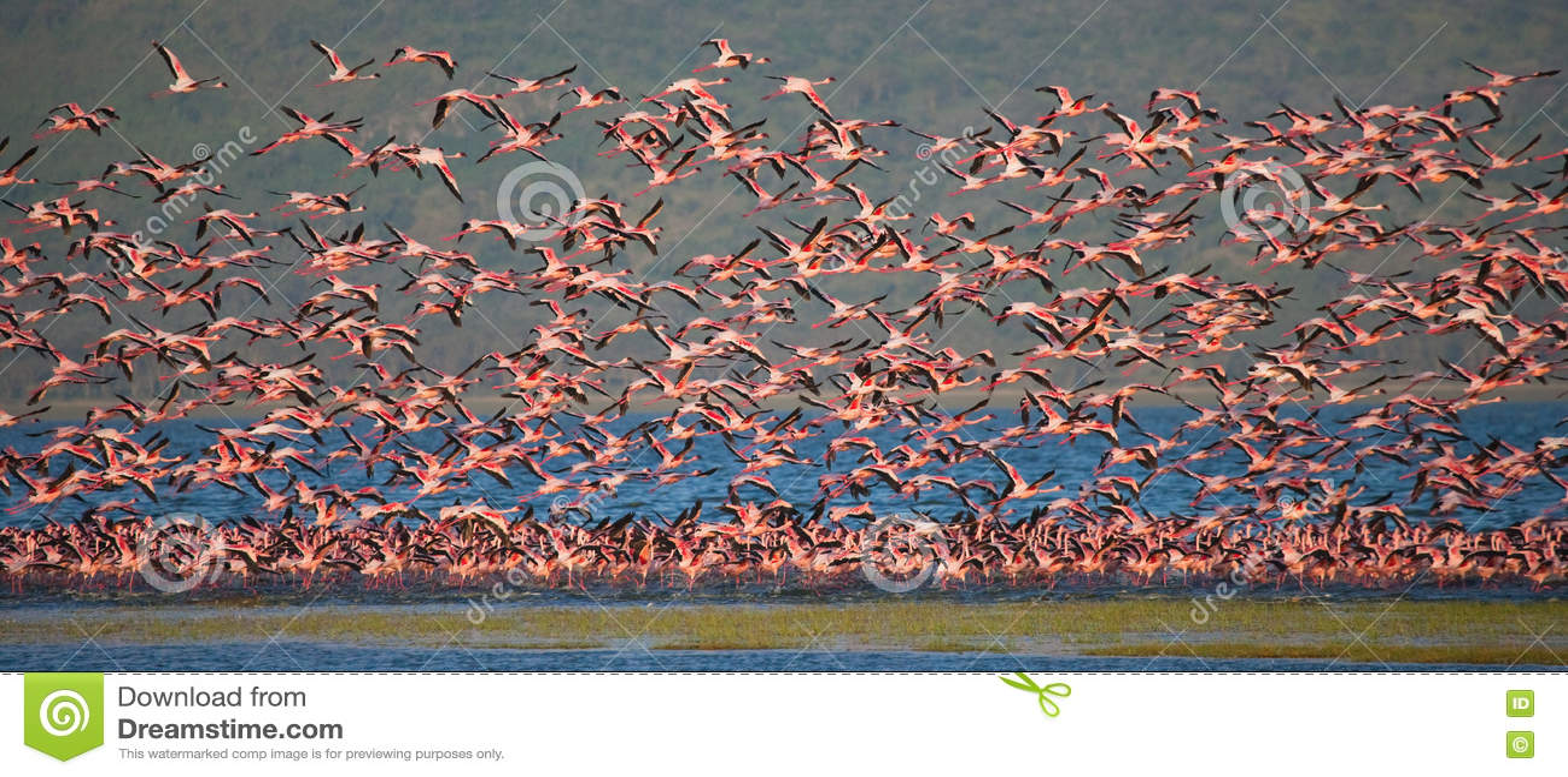 Enorm flock av flamingo som tar av kenya _ Nakuru National Park SjöBogoria nationell reserv