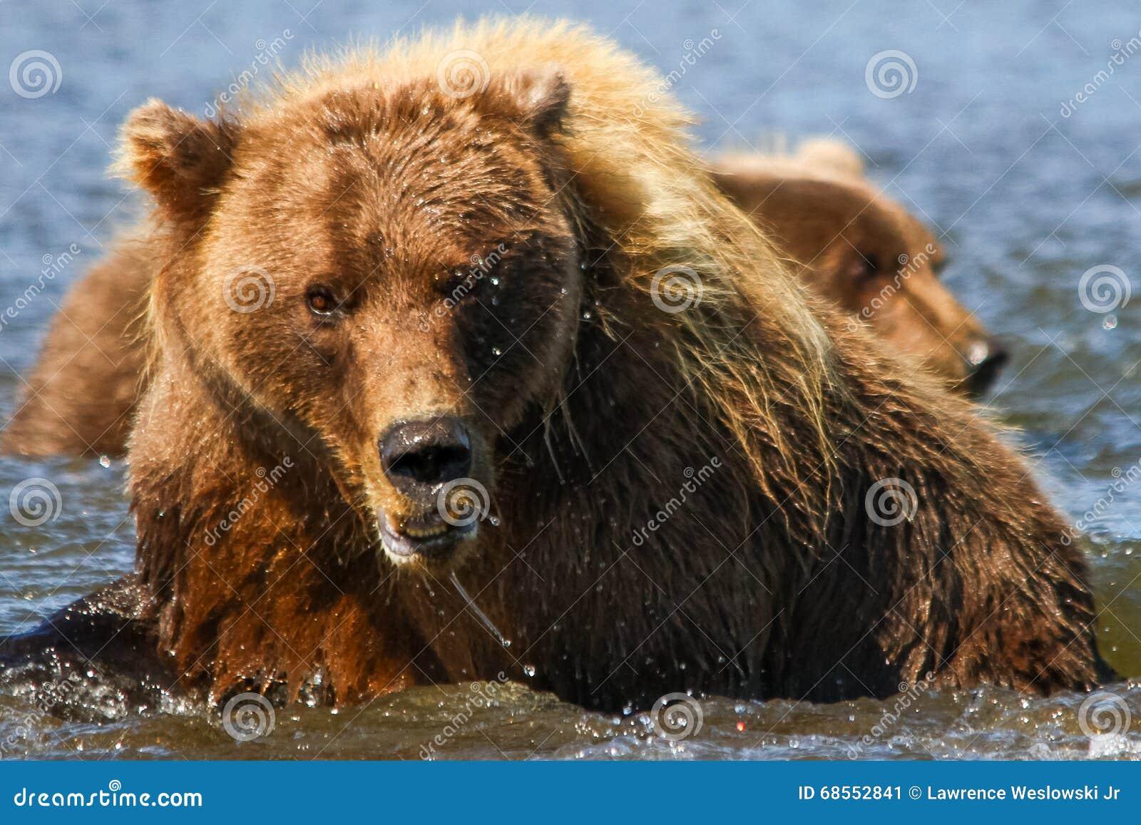 Enorme Alaska-Braunbär-Mutter und CUB