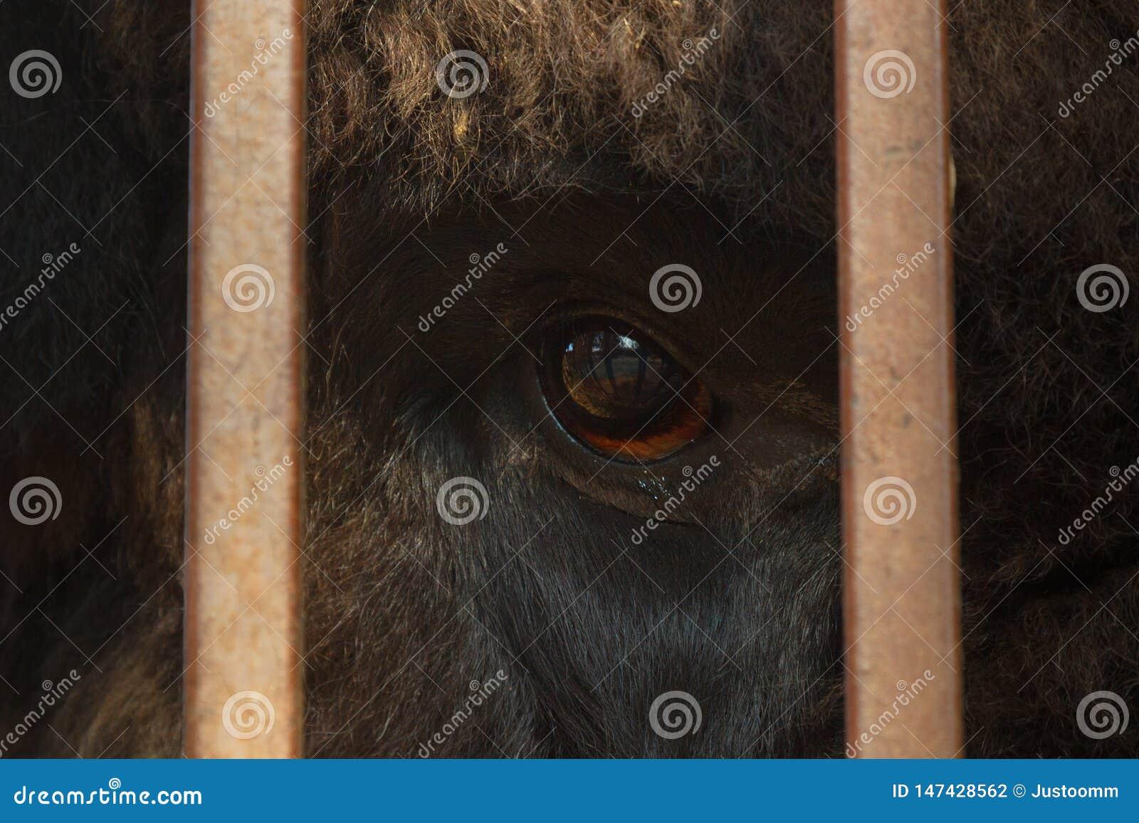 Enormt öga av djurfotoet till och med stängerna, begreppet av frihet av djur utan våld över dem