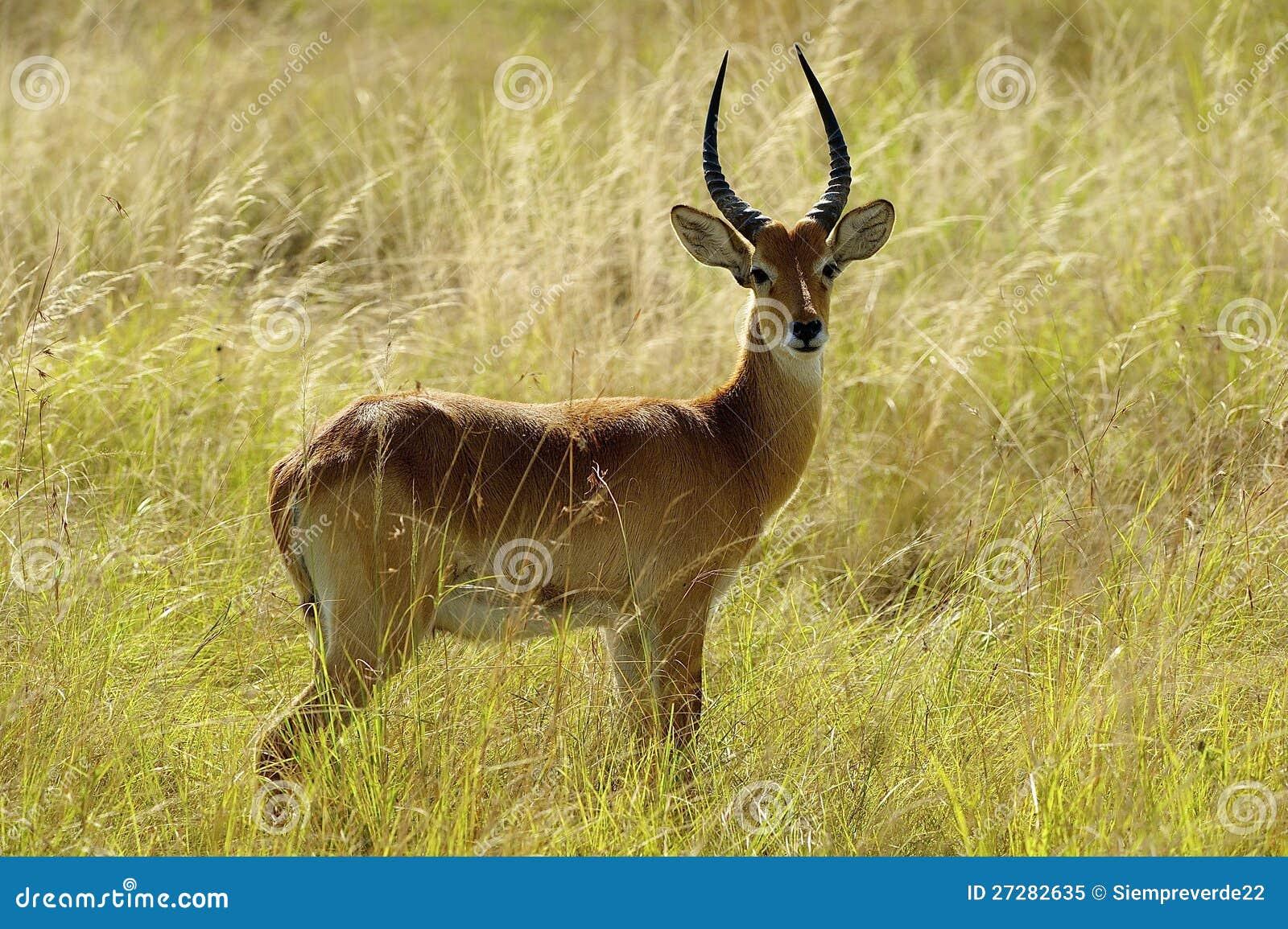 Ensam antilop i Afrika