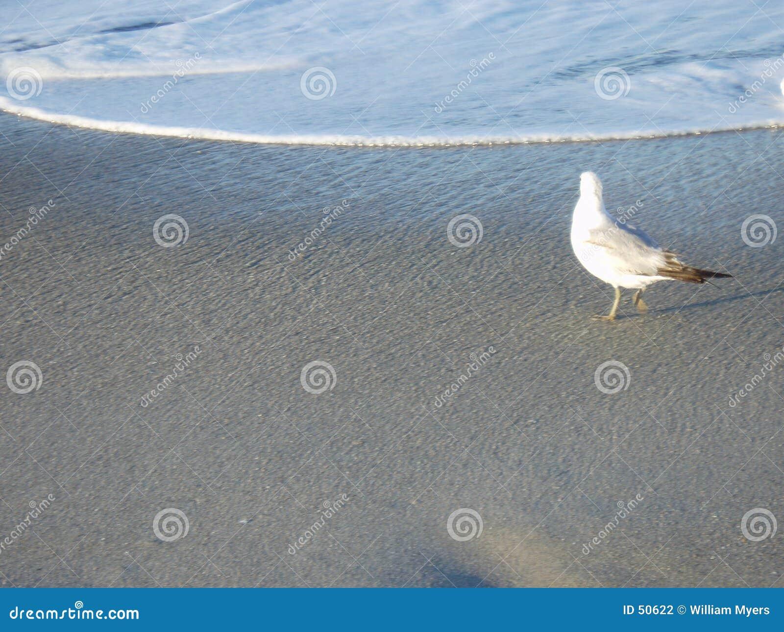 Ensam fiskmås