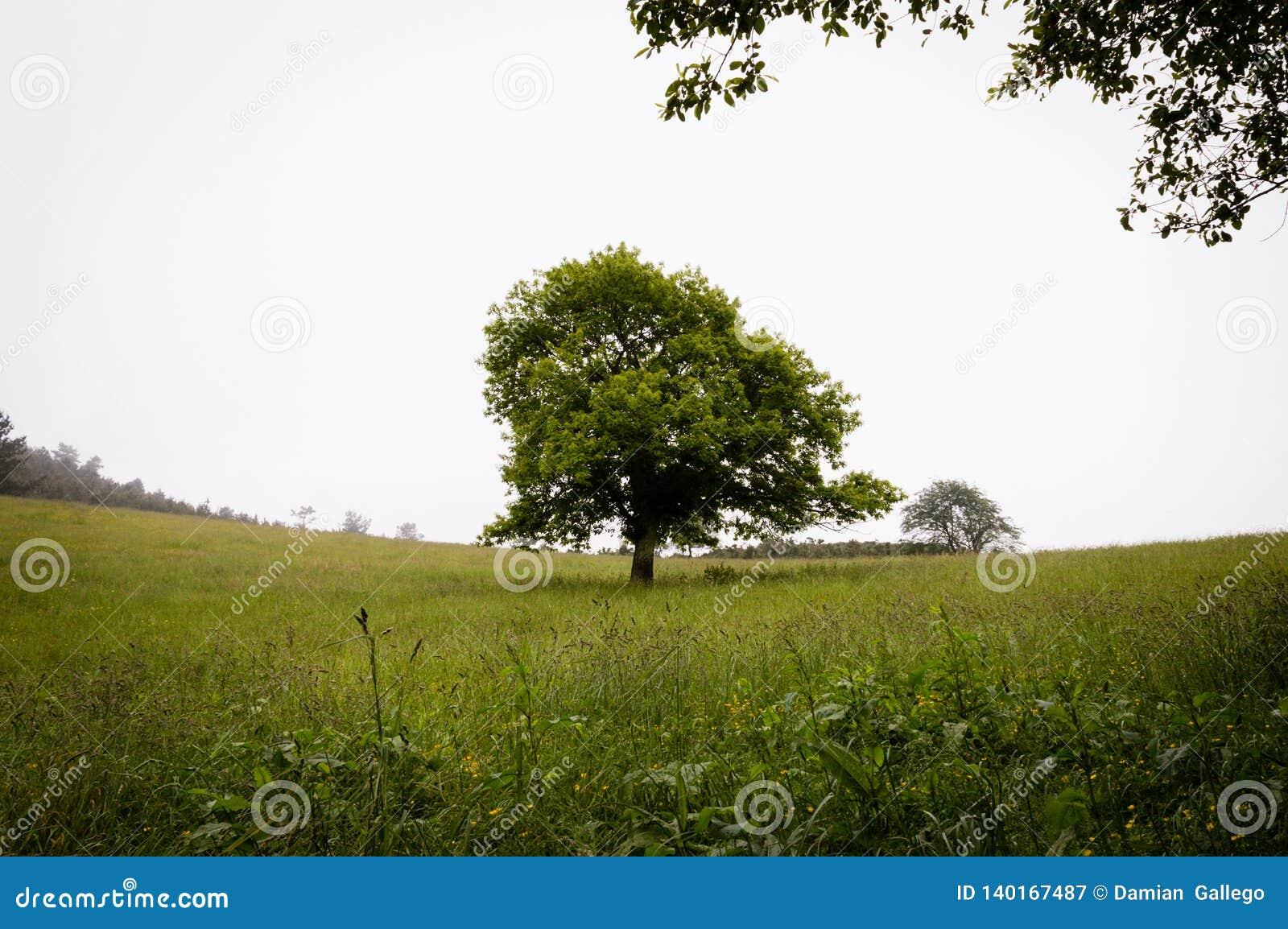 Ensam grön ek i fältet