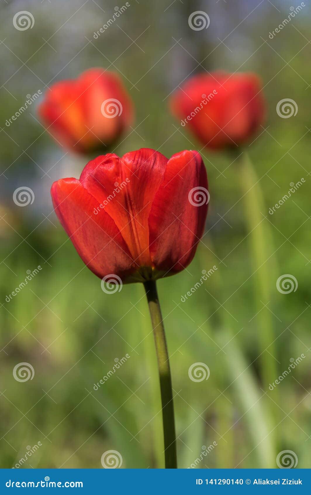 Ensam knopp av en röd tulpan, bakgrund