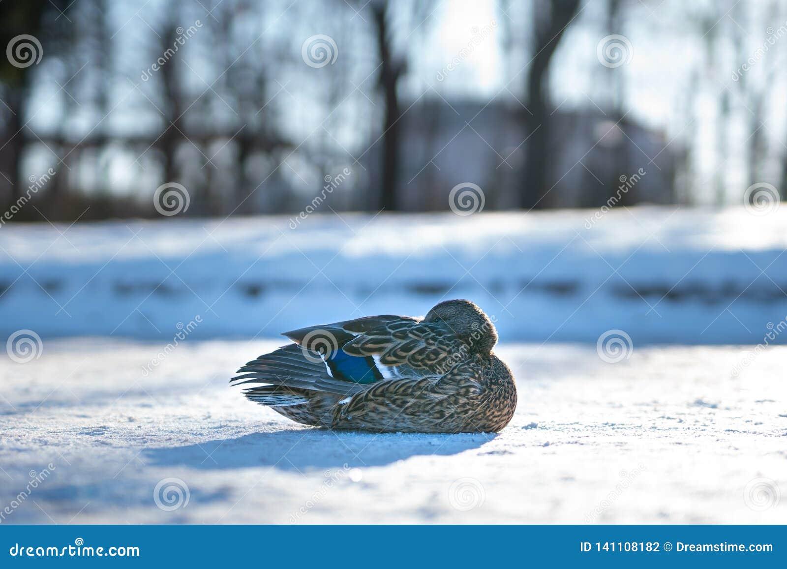 Ensam kvinnlig and som värmer upp i solnedgångljuset av en kall vinterdag