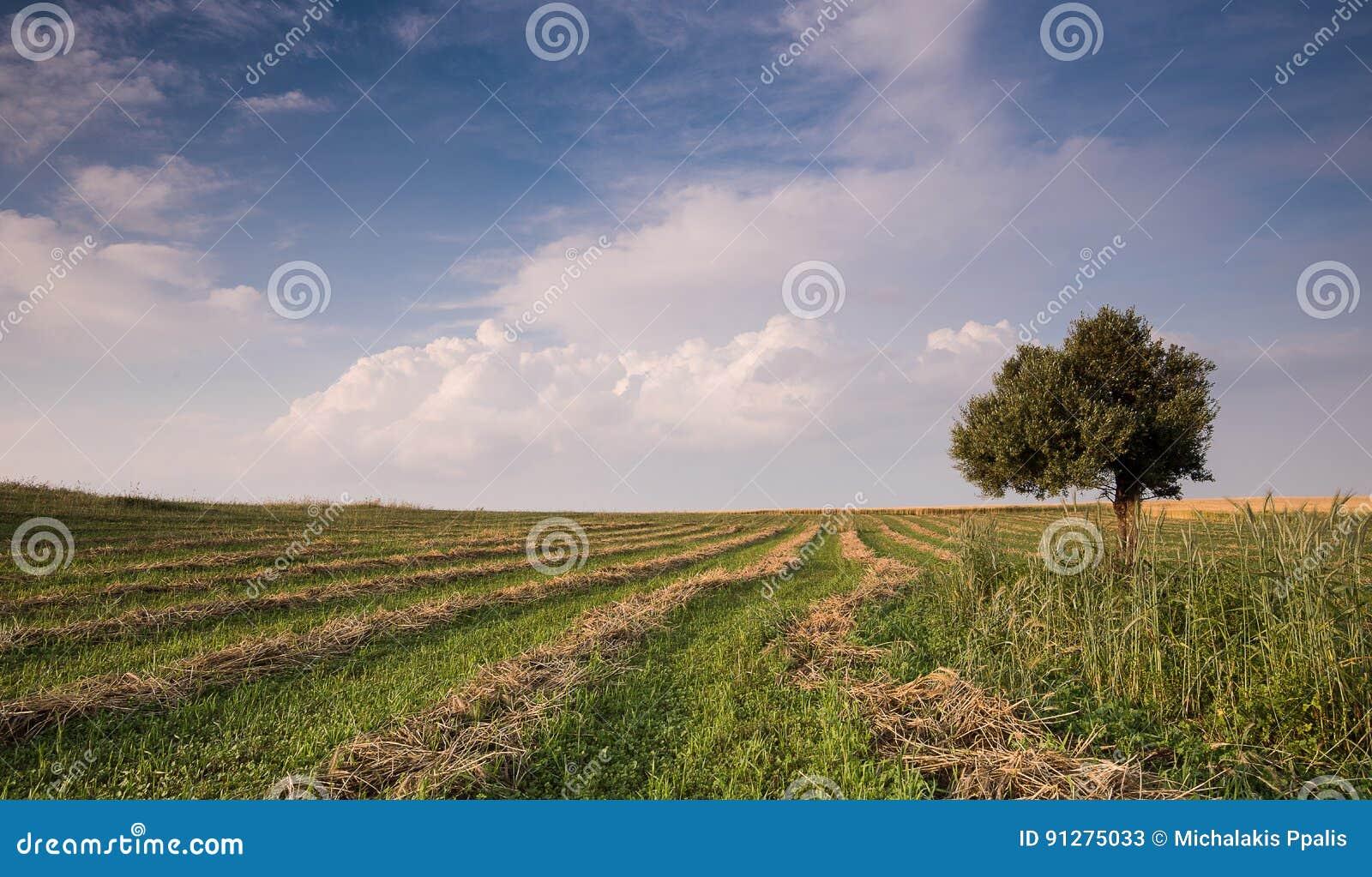 Ensam olivträd i ett grönt fält