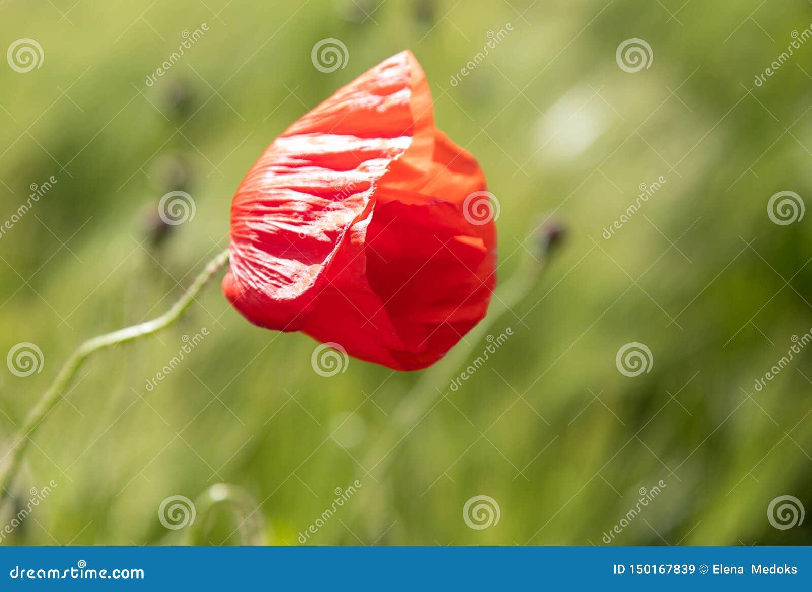 Ensam röd vallmoblomma i ett fält av råggrova spiken Slut för vårvallmoskott i ett grönt fält