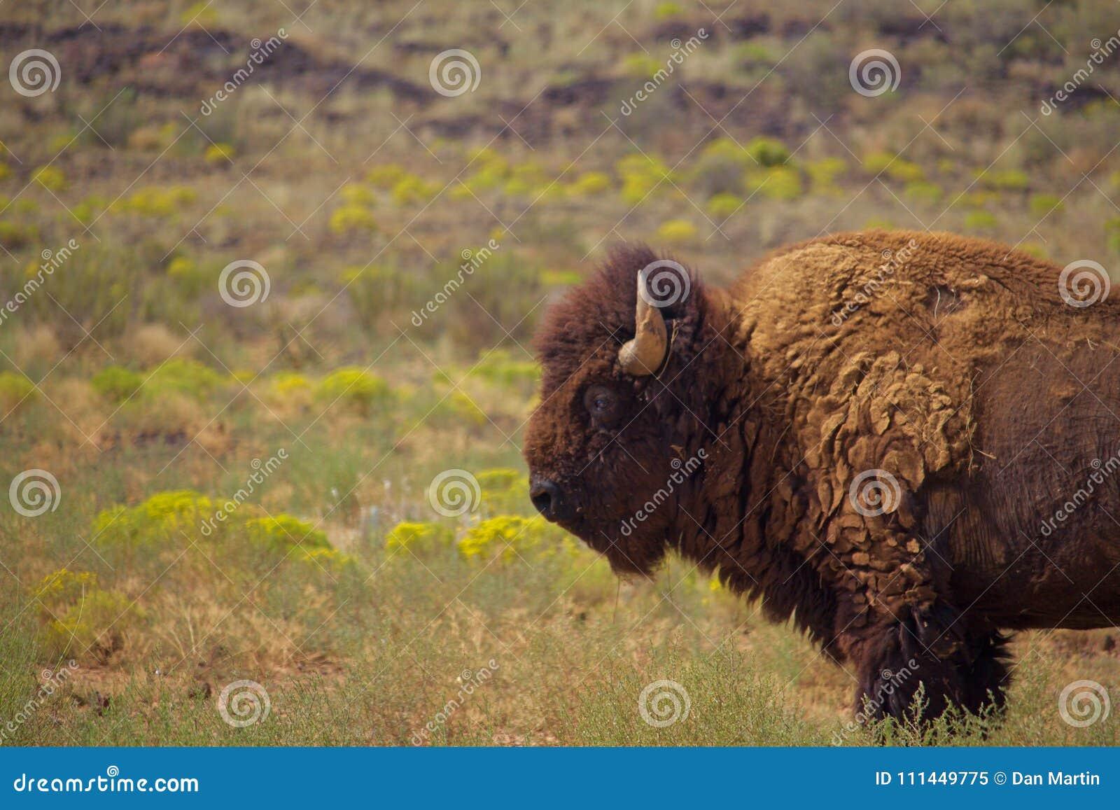 Ensam tjur Bison Stands i gräs