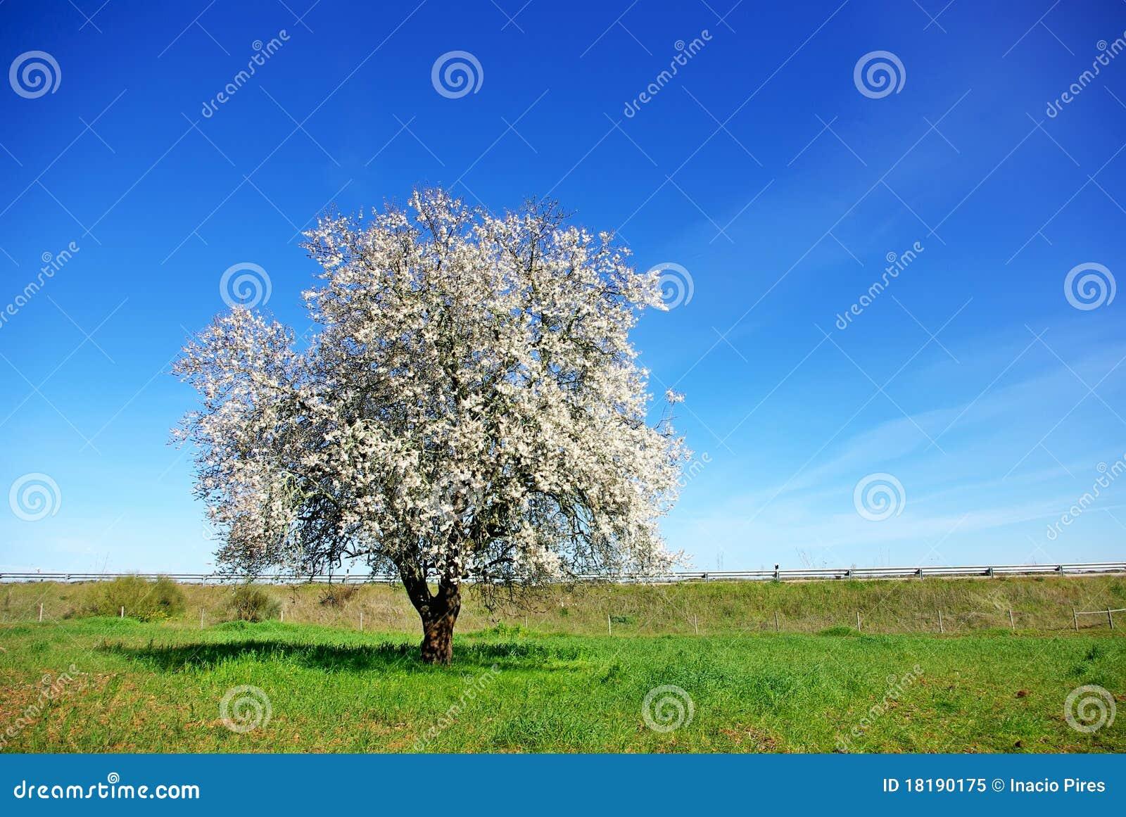 Ensam tree för mandelfältgreen