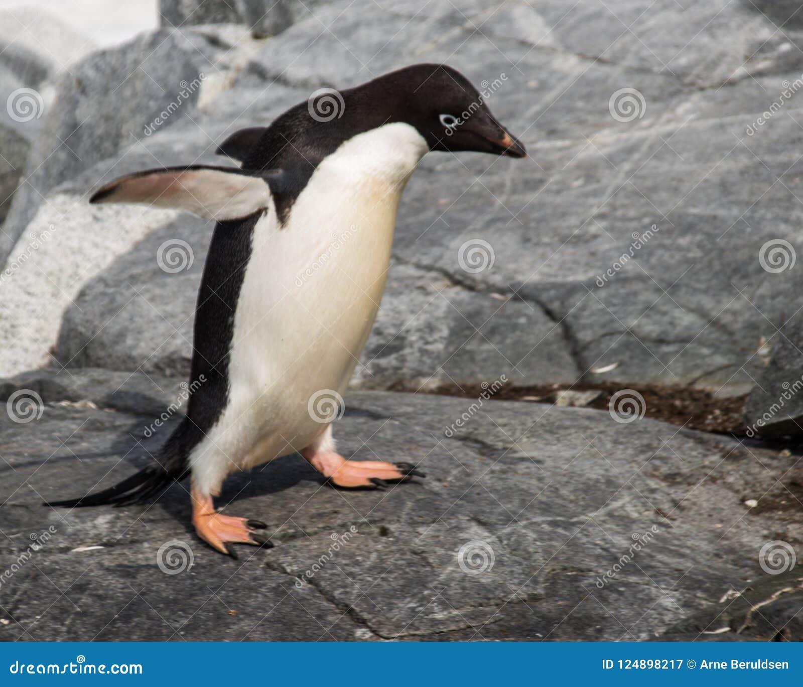 Ensamma Adele Penguin i Antarktis