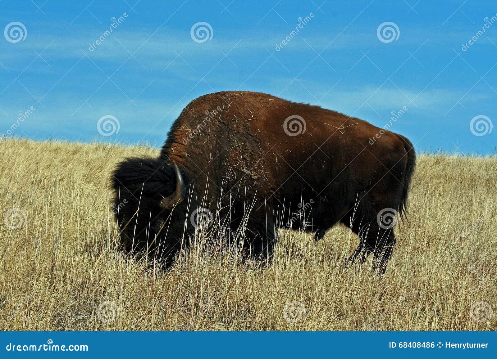 Ensamma Bison Buffalo Bull i Custer State Park